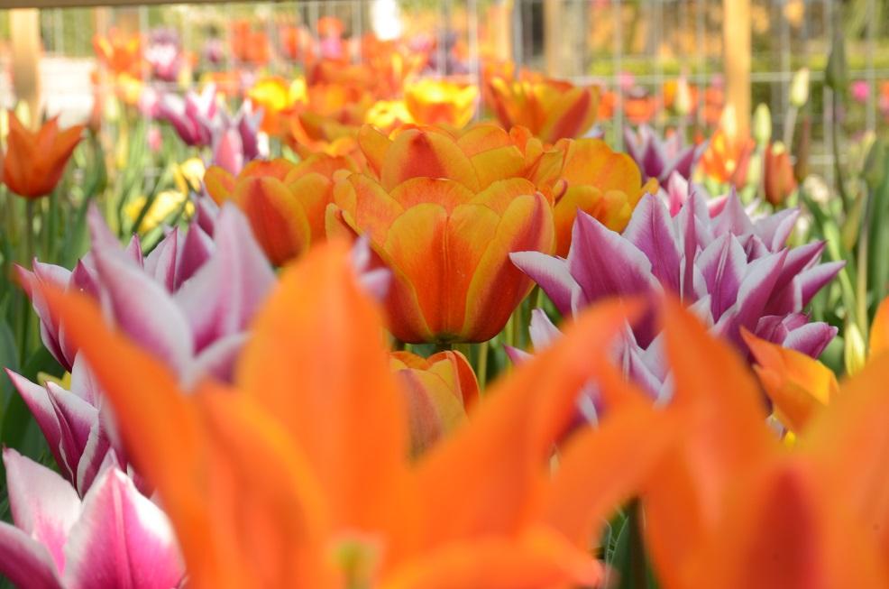 Tulipani (037) picc