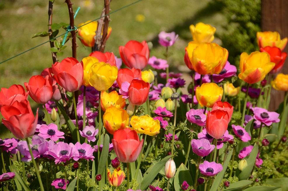 Tulipani (072) picc